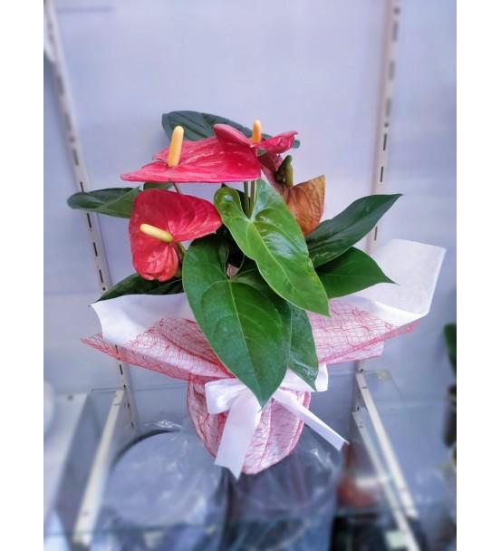 Antoryum ithal Saksı Çiçeği