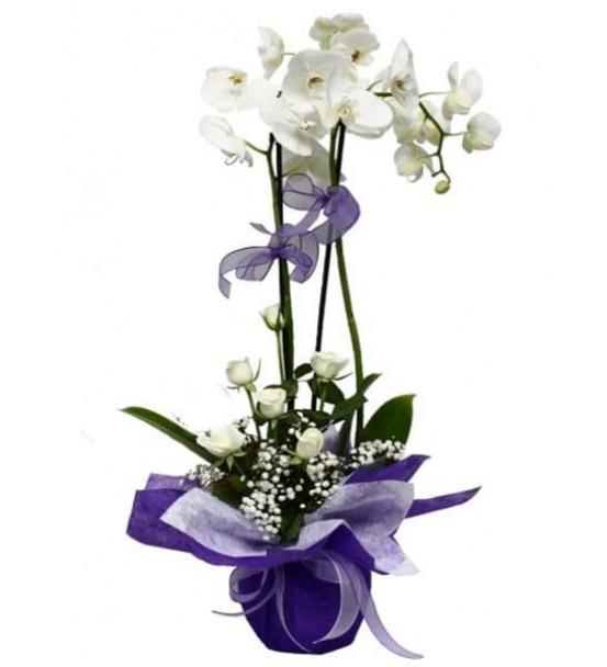 Orkide - 2 li Beyaz-arajmanlı